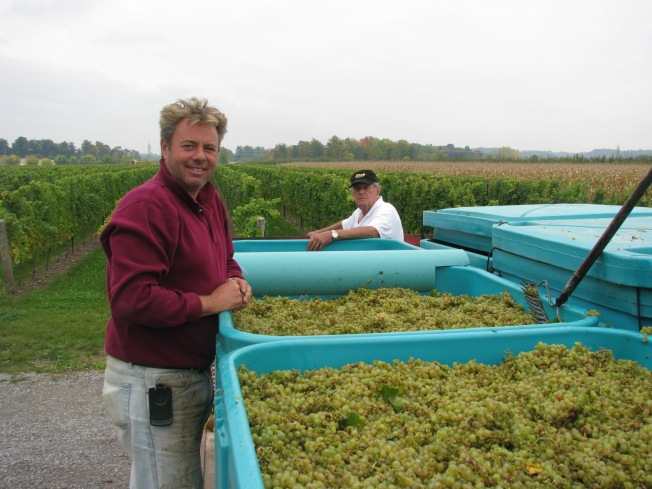 Grape harvesting at Honsberger Estate